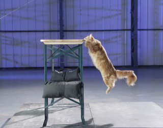 Kāpēc kaķi krīt uz visām četrām ķepām?