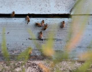 Dailes teātra jumtu sāks apdzīvot trīs bišu saimes