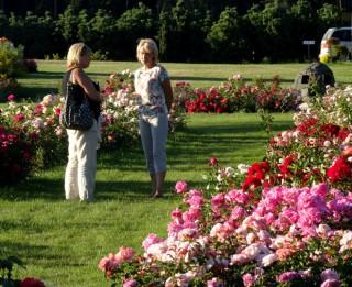 Foto: Skaistie dārzi 2015. Dailas Trubiņas rozes