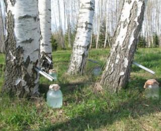 Attīram organismu, dzerot bērza sulu!