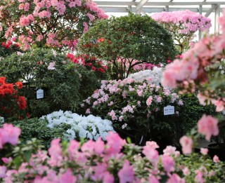 LU Botāniskajā dārzā krāšņu pilnziedu sasniegušas acālijas