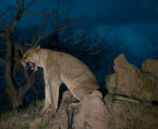 Ielaid lauvu istabā