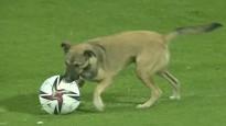 Suns iesaistās pirms starta un dodas laukumā arī spēles laikā