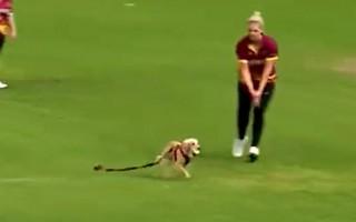 Video: Sacensībās iesaistās suns un uzņemas iniciatīvu
