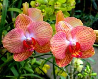 Biežāk sastopāmās orhideju šķirnes un atšķirības to kopšanā